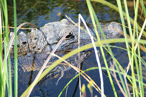 An up close photo of a recently hatched alligator swimming alongside its mother's head.