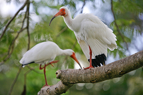 A photo of two Florida Ibis which is the University of Miami mascot.